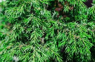Popular ornamental plants green juniper. background, texture