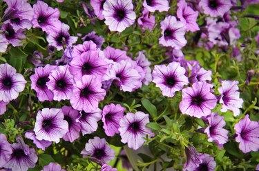 Vivid purple petunia flowers in summer garden