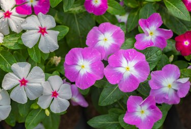 West indian periwinkle or Madagascar Periwinkle