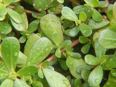 Purslane leaves after rain