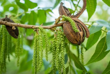 Pecan nut with string of male flowers
