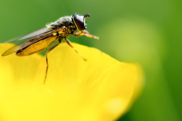 A gnat is resting on a buttercup.