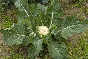 Organic Cauliflower plant