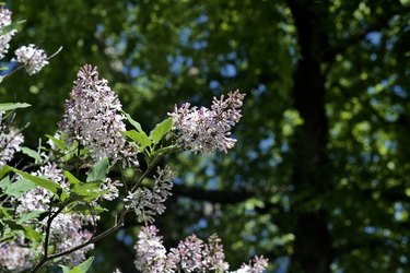 Macro view of late blooming Korean (Miss Kim) lilacs with white and pink color blossoms