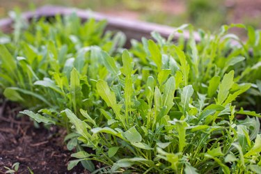 Green young organic arugula grows on a bed in the ground