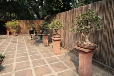 Image of paved courtyard in garden featuring Japanese elements of bonsai trees on plinths displays, figs / ficus bonsai tree