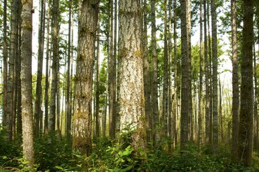 Pacific Northwest forest and Douglas fir trees