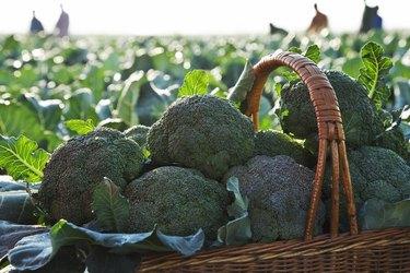 Freshly picked broccoli in basket.