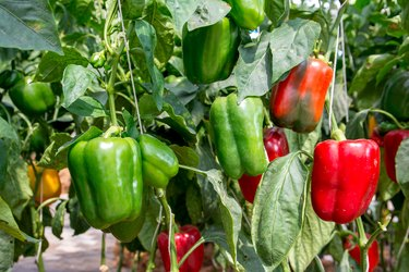 Green and Red Sweet pepper Tree in garden,Bell peppers