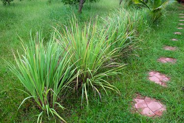Lemongrass or Cymbopogon citratus,  Herb , Thailand