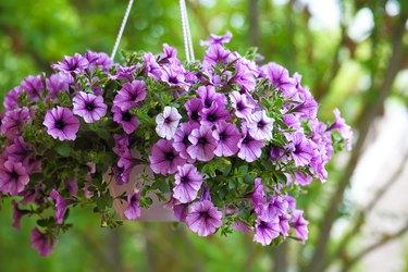 purple petunia flowers in the garden