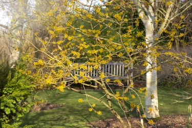 Close-up image of the beautiful yellow flowers of the late winter flowering shrub Hamamelis also known as Witch Hazel
