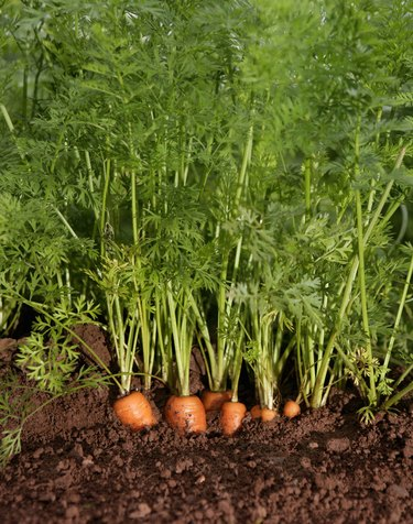 organic carrots growing