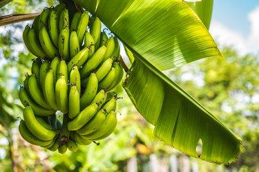 Bunch of green fresh Bananas