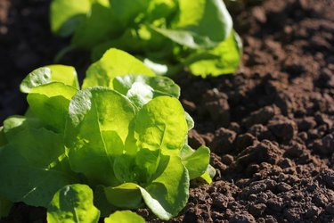 Green lettuce growing in the garden, growing. Healthy vegetarian food