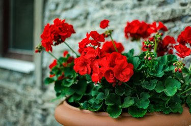 Red garden geranium flowers in pot