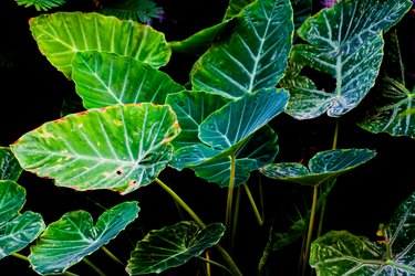 Art of Green Taro Plant background
