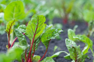 Close-up of chard leaves growing in garden