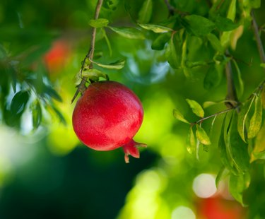 Ripe pomegranate hanging on a tree