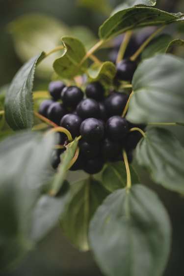 High angle view of huckleberries growing on plant in farm