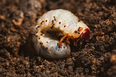 The larvae of the May beetle