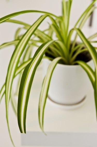 An elegant green pot plant as room decoration against white wall. Spider plant or Chlorophytum comosum