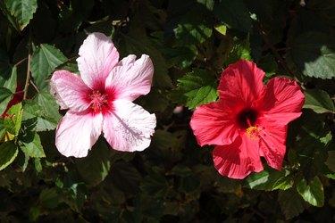 Beautiful red hibiscus flowers in full bloom in corralejo Fuerteventura  Spain