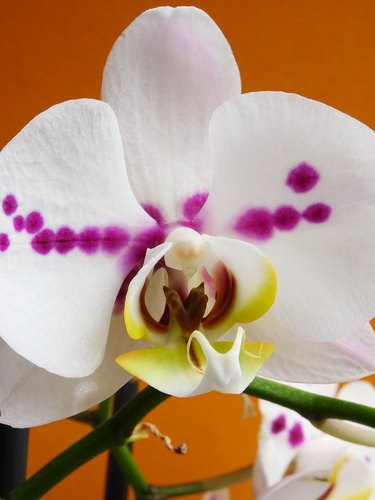 Close-up of a  White Moth Orchid Phalaenopsis Isolated on a orange background