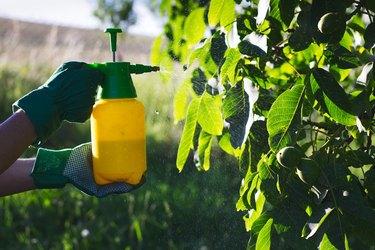 Using pesticide against pests on walnut tree