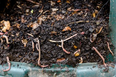 Worms in natural compost in plastic green barrel