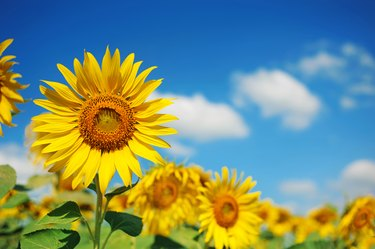 field of sunflowers with blue sky