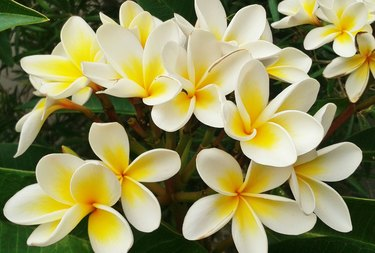 Close-Up Of Frangipanis Blooming Outdoors