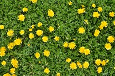 Blooming dandelion flowers in green grass