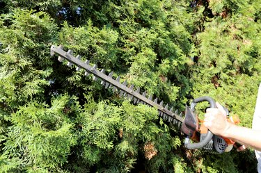 Pruning and cutting hedges with chainsaw