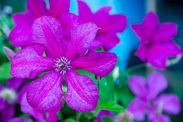 Blooming clematis in the garden