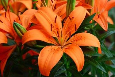 Lilium, Orange flower