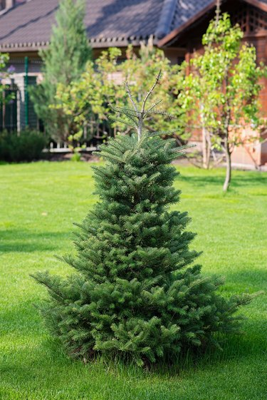 Beautiful young evergreen spruce Christmas tree in the home garden on the lawn. Landscaping.