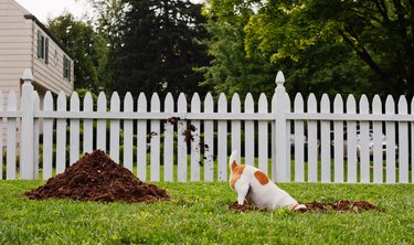 Dog digging hole in front yard