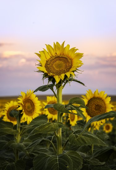 sunflowers along the Colorado front range take in the morning light at sunrise