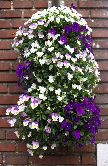 Holland: Pretty Purple Petunias Cascading Down Brick Wall