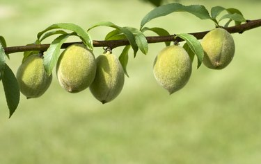 Fresh Peaches Growing on Branch