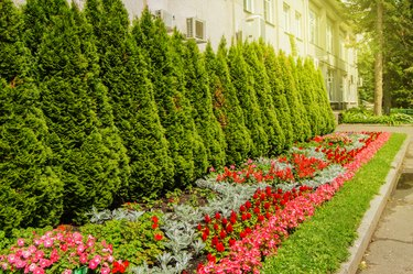 Colorful flowers growing in the landscaped garden with formal flower beds and evergreen thujas near neat green lawn, the glare and flare