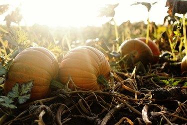 Pumpkins ripening in a sunny autumn field