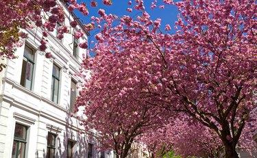 Cherry blossom in Bonn