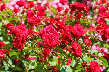 Lush flowering rose varieties Niccolo Paganini. Meilland France, 1991.