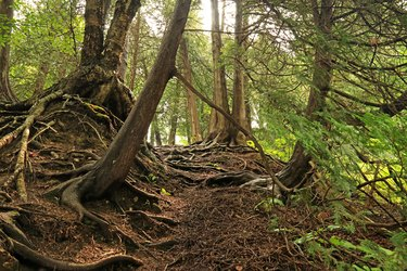 Morning in the woods shows cypress trees with morning light highlighting tree roots and forest floor