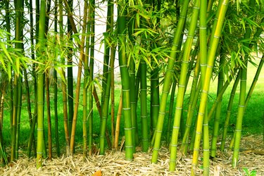 Shoots of green bamboo in a field