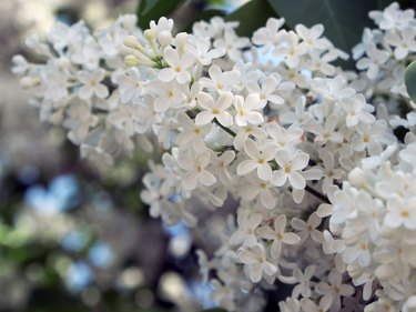Branch of white lilac on a Bush close-up.