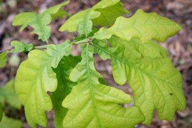 Oak sprout.