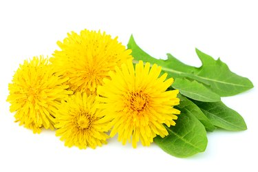 Flowers dandelions with leaves close-up isolated.